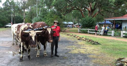 Geoff Cochrane and bullocks